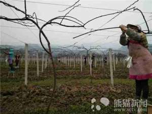 县长专家田间办公 7000亩果园去年收获首批500余吨红心猕猴桃
